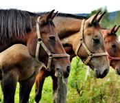 Pferde, Schweine, Schafe, Hühner, Truthühner/Puten und Bienenvölker müssen bis zum ersten Januar bei der Tierseuchenkasse gemeldet werden.