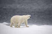 Arktis, Spitzbergen, Norwegen, Eis, Polarmeer, Eisbär, Packeis