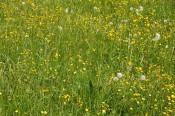 Blumenwiese bei Adelhausen