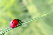 Ein Marienkäfer krabbelt auf einem Blatt.