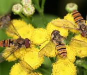 Insektenvielfalt im Garten - ein Projekt des NABU.