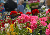 Eine Vielfalt an Geranien und anderen Pflanzen bietet der Rheinfelder Geranienmarkt auf dem Oberrheinplatz.