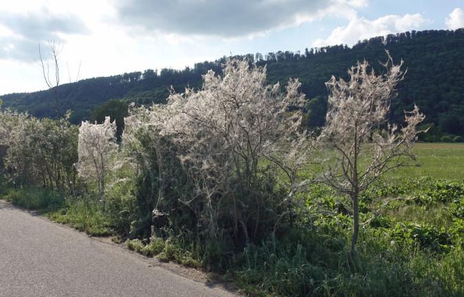 Sträucher mit Gespinstmotten zwischen Herten und Rheinfelden.