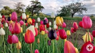 Blumenfeld bei Herten